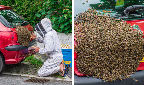Swarm of Bees on a Car